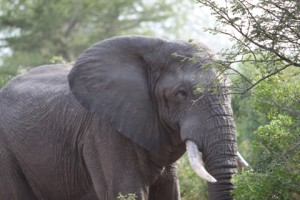 elephant-chasing-lions