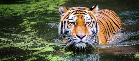Tiger in the water in a jungle